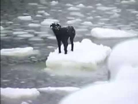 Giải cứu chú chó bị kẹt trên tảng băng trôi