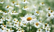 Hoài niệm về anh và hoa cúc dại